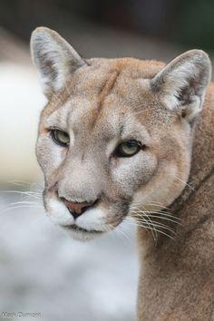 North America's big cat   nature     wild life   #nature #wildlife  https://biopop.com/