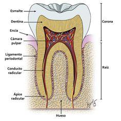 Damaged Dental Bridge Did You Know - Saude Bucal Dental Hygiene School, Dental Assistant, Dental Hygienist, Oral Hygiene, Dental Art, Dental Teeth, Dental Health Month, Oral Health, Teeth Health