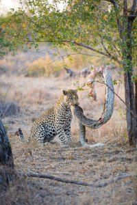 Life in the wild isn't as easy going though, as this python in Sabi Sands, South Africa, found out when a leopard pulled it out of a tree and ate it... by Villiers Steyn/Caters