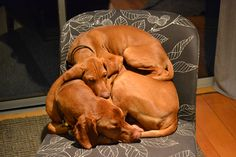 vizsla...the boys, rex and odi