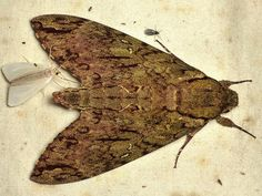 Hawk moth, Sphingidae