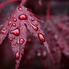 red-leaves-raindrops - Once Wed