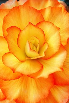 yellow and orange begonia