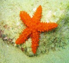 Estrela do mar (Echinaster (Othilia) echinophorus): espécie ameaçada de extinção. Foto: Marcelo Kammers. Endangered specie. Fonte: http://www.icmbio.gov.br/portal/biodiversidade/fauna-brasileira/lista-especies/943-estrela-do-mar-echinaster-othilia-brasiliensis