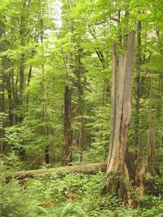 Primeval Beech Forests of the Carpathians (UNESCO) - Slovakia and Ukraine