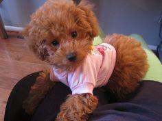 Mojo our mini poodle