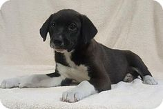 Champaign, IL - Border Collie. Meet Michelle, a puppy for adoption. http://www.adoptapet.com/pet/18040151-champaign-illinois-border-collie
