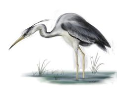 grey heron by Threepwoody.deviantart.com on @deviantART