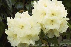 rhododendron lemon lodge - Google Search