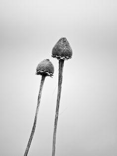 Two Barren Flower Stems in Winter (P4090897)