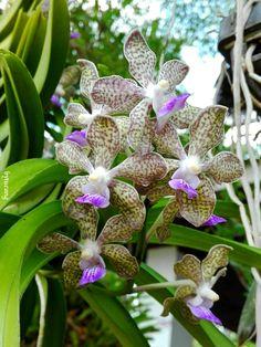 orchids for sale tesco Vanda Orchids, Rare Orchids, Orchids Garden, Orchid Plants, Rare Flowers, Exotic Flowers, Purple Flowers, Beautiful Flowers, Closed Terrarium Plants