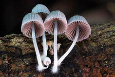 Steve Axford, new fungi photos, China fungi, Thailand fungi, Amanita hemibapha eggs, Cookeina Tricholoma fungi,