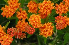 Butterflyweed at Eagle Bluff