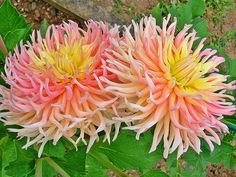 Two-colored Cactus Dahlia