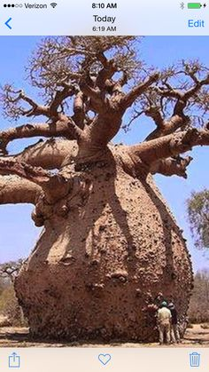 Baobab trees can store over gallons of water in their trunks. The Garden of Eaden, Africa, and India Weird Trees, Magical Tree, Baobab Tree, Unique Trees, Old Trees, Garden Types, Nature Tree, Big Tree, Tree Forest