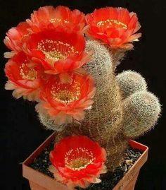 Cactus with flowers Garden Cactus, Cactus House Plants, Cactus Cactus, Cactus Decor, Cacti And Succulents, Planting Succulents, Planting Flowers, Cactus Plante, Cactus Types