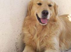 Golden Retriever #perros #mascotas