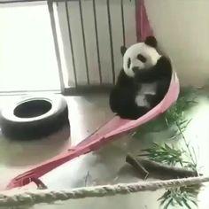 Panda Gif, Panda Funny, Panda Love, Cute Panda, Cute Little Animals, Cute Funny Animals, Panda Costumes, Panda Images, Cute Animal Videos
