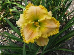 This Cross is White Noise x Mike Longo.  To see more of my daylilies, find me on facebook. Daylilies of the Valley
