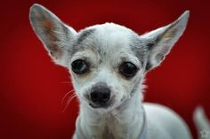 Owner blames allergies for surrender of pint-sized senior dog to busy shelter. Please help ?
