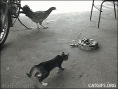This cat has springs, I swear...lol [GIF] oh dang, that person was a jerk to scare him with the rake..poor baby,