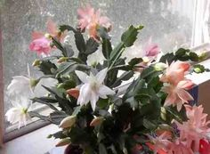 Christmas Cactus...i have never gotten mine to bloom....any ideas ???