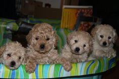 Mini Goldendoodles!