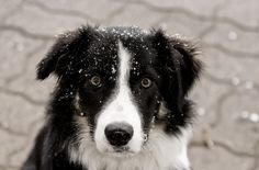 Border collies, beautiful working dogs - and family pets