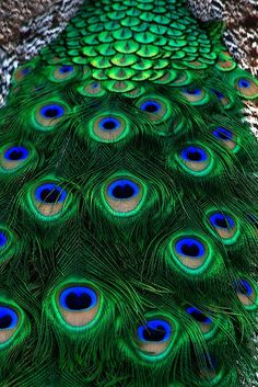Birds ©: Peacock Plumes [At Waccatee Zoo, South Carolina; by Shawn Jennings] Peacock Colors, Peacock Art, Peacock Feathers, Peacock Tattoo, Green Peacock, White Peacock, Peacock Pattern, Beautiful Birds, Animals Beautiful