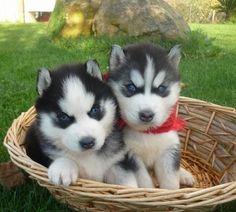So Cute Siberian Husky Puppy