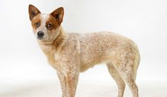 cattle dog breeds with pictures