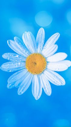 White daisy on blue background Flower Iphone Wallpaper, Sunflower Wallpaper, Flower Background Wallpaper, Beach Wallpaper, Flower Backgrounds, Colorful Wallpaper, Trendy Wallpaper, Flowery Wallpaper, Cloud Wallpaper
