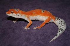 Norwich Leopard Geckos