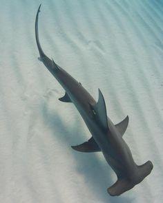 8631e09171 A hammerhead shark swims in the ocean