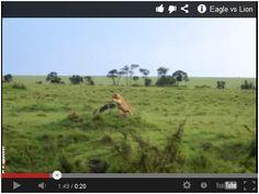 Eagle vs Lion! Watch here: http://gdurl.tk/Aj