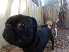 Mr. Pug is uncomfortable with the overly-friendly neighbor dog