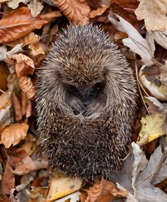 Sleeping hedgehog in autumn leaves