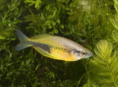 Melanotaenia fredericki - חיפוש ב-Google Planted Aquarium, Aquarium Fish, Tetra Fish, Rainbow Fish, Corals, Freshwater Fish, Tropical Fish, Rainbows, Fresh Water