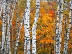 Birch Tree Paintings | Fall Birch Trees