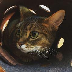昨日は猫の日🐱 ・ いつも癒してくれてる娘に感謝😊 ・ #猫の日 #2月22日 #マンチカン #愛猫 #cat #にゃーにゃーにゃー #可愛い #cute #love #ねこ #munchkin #家族 #family #にゃんこ #猫