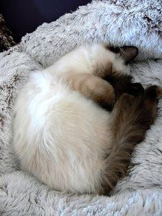 cute ragdoll kittens sleeping cat pic