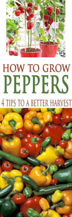 Learn 4 tips that will grow better and bigger peppers this year! #growvegetables