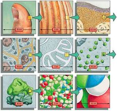 To get a sense of scale: Each diagram shows an image magnified by a factor of 10 in an imaginary progression from a thumb, through skin cells, to a ribosome, to a cluster of atoms forming part of one of the many protein molecules in our bodies