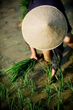 Harvesting in Hà Giang, Vietnam. Hà Giang is a province in the Northeast region of Vietnam. It is located in the far north of the country, and contains Vietnam's northernmost point.