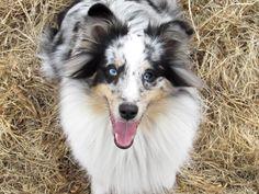 Sheltie, Husky, Animals, Pictures, Round Round, Ideas, Animales, Animaux, Husky Dog