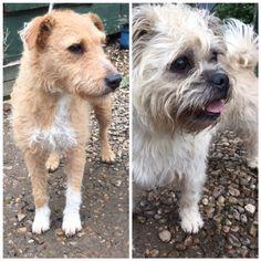 Poppy and Daisy  3 year old female Lakeland Terrier cross Patterdale Terrier and 2 year old female Pug cross Bichon Frise #cutedogs #cute #dogs #dog #pets #babblepets
