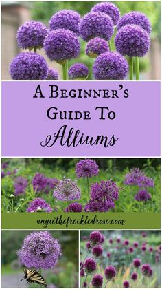 flower garden care A Beginners Guide To Al - Gardening For Beginners, Gardening Tips, Gardening Services, Gardening Courses, Gardening Books, Bulb Flowers, Allium Flowers, Top Flowers, Spring Flowers