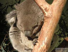 ¡14 cosas que hacer en Sídney! Sidney Australia, Sydney, Gap Year, Tasmania, Australia Travel, Bear, Animals, New Zealand, Travel Photography