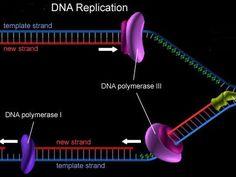 D.N.A  replication videos
