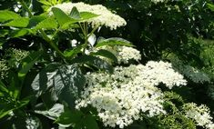 Gathering and Using Elderflowers to Make Lotions for Beautiful Skin and Healing Salves Elderberry Cuttings, Language Of Flowers, Medicinal Plants, Herbal Medicine, Natural Living, Permaculture, Beautiful Flowers, Herbalism, Seeds
